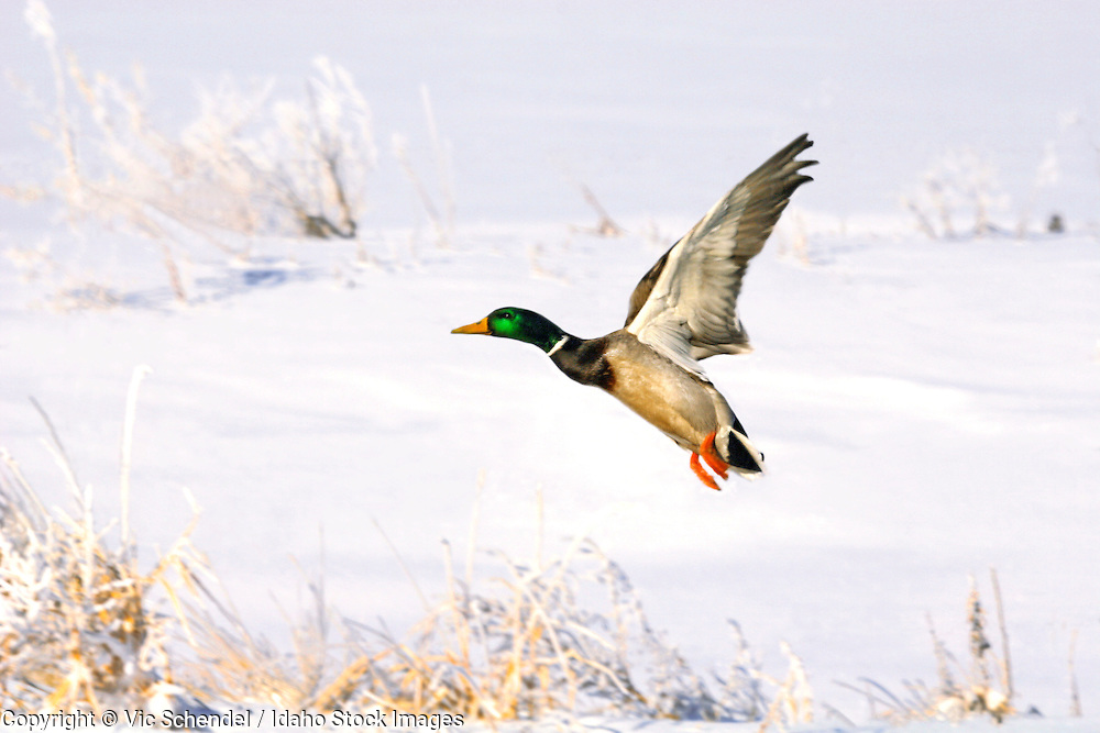 a great picture of a male mallard flying against a winter snowscape
