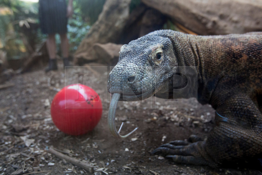 © licensed to London News Pictures. London, UK 08/08/2013. Komodo dragon, Raja, who appeared in James Bond Skyfall film, given a red ball filled with his favourite foods at London ZSL Zoo on Tuesday, August 08, 2013. Komodo dragons are the biggest and heaviest lizards in the world. Full-grown adults can reach 10 feet long and weigh more than 140 kgs. Zookeepers prepare these activities to encourage the animals to hunt for their food or inspire mental challenges for them to keep them active and fit. Photo credit: Tolga Akmen/LNP