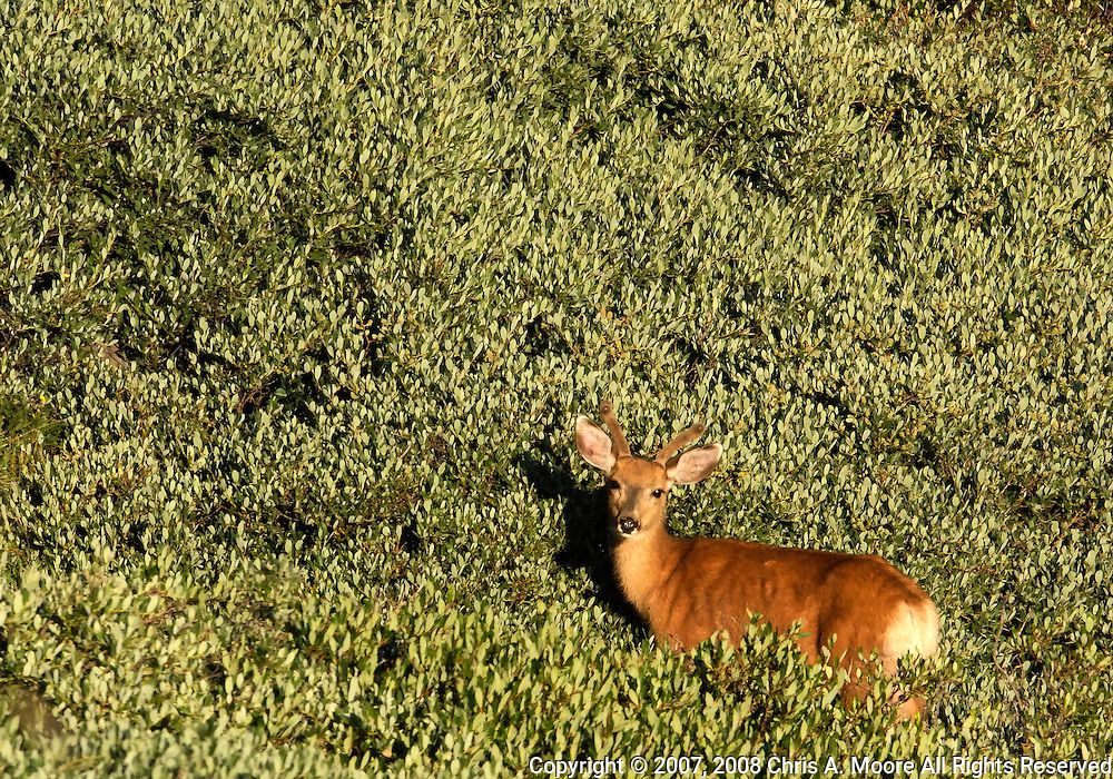 Spike Mule Deer high-lighted by the early morning sun in high altitude willow on Mt. Goliath, Colorado on 30 July 2007.