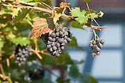 Weintraube, Groß-Umstadt, Odenwald, Naturpark Bergstraße-Odenwald, Hessen, Deutschland   grape wine, old town, Gross-Umstadt, Odenwald, Hesse, Germany