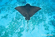 spotted eagle ray, Aetobatus narinari, at Eagle Ray City, Saipan, Commonwealth of Northern Mariana Islands<br /> Micronesia ( Western Pacific Ocean )
