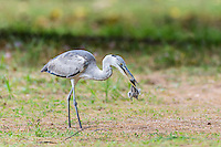 Grey Heron feeding on a Fairy Tern chick that it has snatched from the nest, D'Arros Island and St Joseph Atoll, Amirantees, Seychelles,