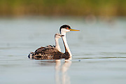 Western Grebe, Aechmophorus occidentalis, adult & chicks, South Dakota