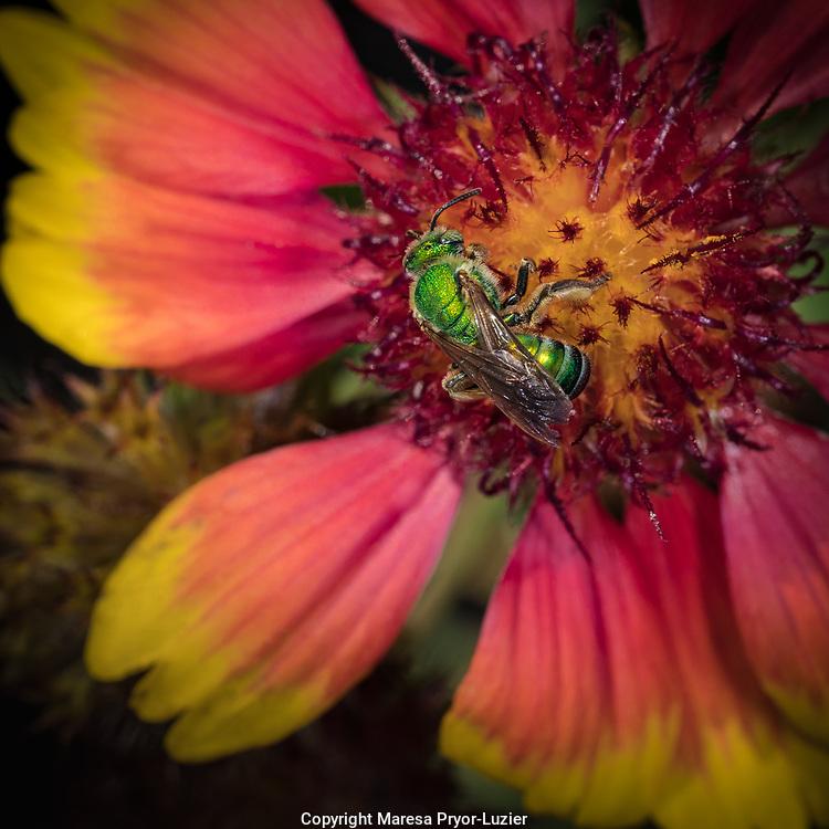 Gaillardia with a female metallic green sweat bee, Gaillardia pulchella, blanket flower, Florida