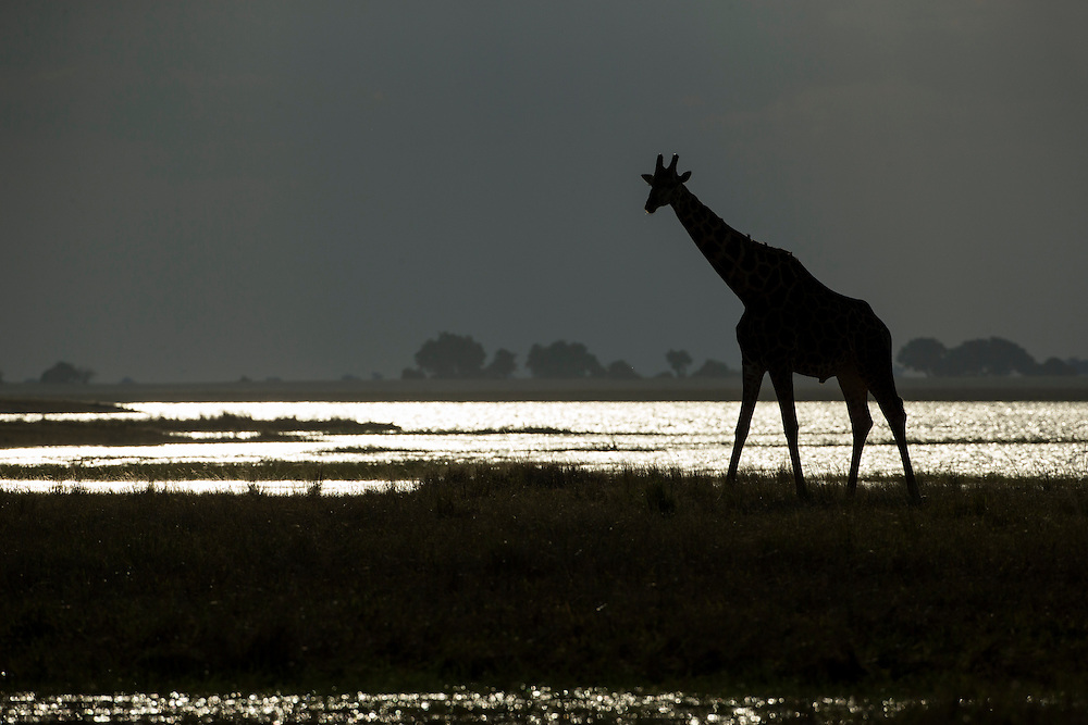 Africa, Botswana, Chobe National Park, Silhouette of Giraffe (Giraffa camelopardalis) walking along Chobe River's banks