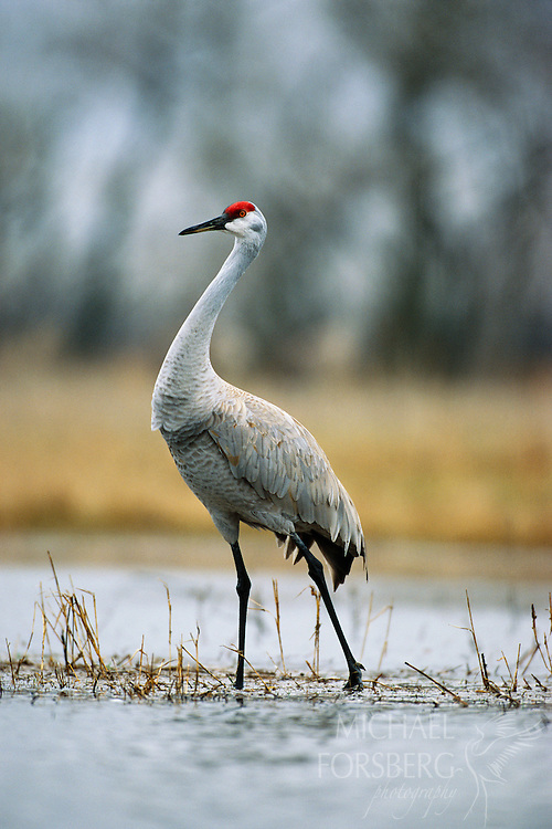 Sandhill Crane - Platte River Valley, Nebraska.  A stately sandhill crane stands in a secluded wet meadow near the Platte River. Sandhill cranes can stand from 31/2 to 5 feet tall with wing spans up to nearly seven feet. During their stay on the Platte, wet meadows provide invertebrates that are a small but critical part of their diet important in healthy egg and chick development. Wet meadows also provide cranes secluded are as to rest, court, preen and bathe.