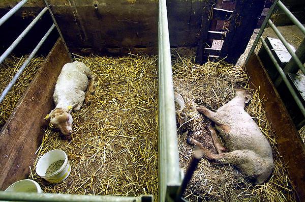 Nederland, Blerick, 29-8-2007..Blauwtong. Zieke, door het virus getroffen schapen. Er bestaat nog geen vaccin,medicijn,geneesmiddel tegen het blauwtongvirus. De dieren kwijnen weg omdat ze niet meer eten,veel pijn hebben en inwendige infecties krijgen. Deze schapenboer geeft wel een injectie,spuit tegen de pijnen,pijnstiller, zodat de beesten blijven eten en misschien genezen. Met antibiotica proberen ze de infecties te  bestrijden. De besmette schapen gaan slijm uit de bek afscheiden,kwijlen, vanwege aantasting van de mondholte en tong...Foto: Flip Franssen/Hollandse Hoogte