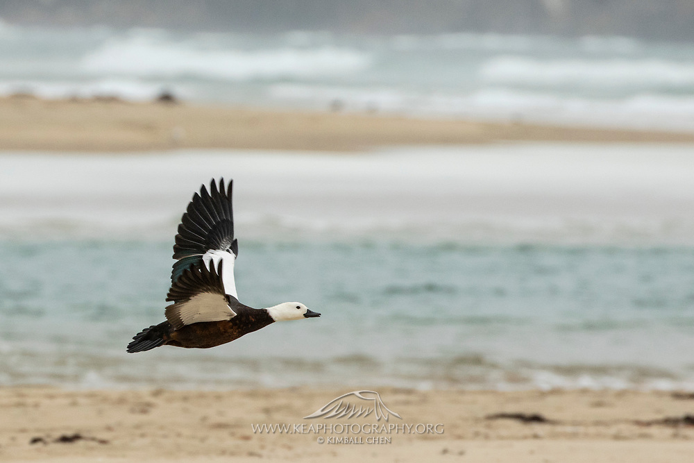 Paradise Shelduck, New Zealand