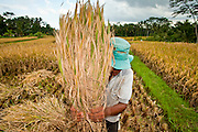 Apr. 22 - UBUD, BALI, INDONESIA:  A man threshes rice in his paddy near Ubud, Bali, Indonesia. Rice is an integral part of the Balinese culture. The rituals of the cycle of planting, maintaining, irrigating, and harvesting rice enrich the cultural life of Bali beyond a single staple can ever hope to do. Despite the importance of rice, Bali does not produce enough rice for its own needs and imports rice from nearby Thailand.   Photo by Jack Kurtz/ZUMA Press.