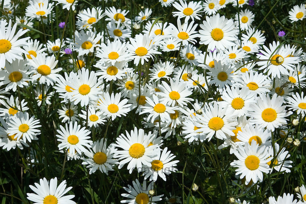 Daisies, Oxfordshire, England, United Kingdom