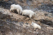 Mountain Goat gives his brother a little help down the cliff. Snake River Range, Alpine, Wyoming