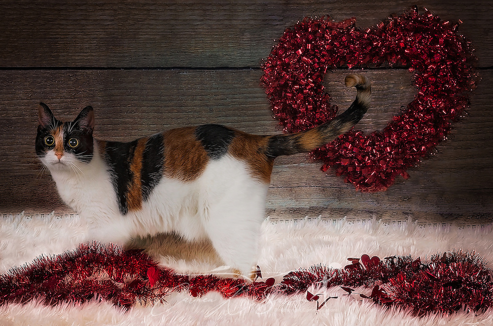 Pumpkin, a two-year-old calico cat, poses for a Valentine's Day portrait, Feb. 14, 2017. (Photo by Carmen K. Sisson/Cloudybright)