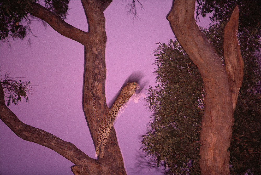 Africa, Botswana, Moremi Game Reserve, Adult Female Leopard (Panthera pardus) leaps between tree branches at dusk
