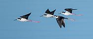 Black-necked stilts in flight over water, Salton Sea, CA, © 2011 David A. Ponton