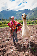 Alpaca, Farm, Sacred Valley, Cusco Region, Urubamba Province, Machupicchu District, Peru