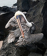 "A Galapagos Brown Pelican (Pelecanus occidentalis, subspecies: urinator) preens feathers at Suaraz Point, a wet landing location on Española (Hood) Island, Galapagos Islands, Ecuador, South America. The Brown Pelican species lives strictly on coasts from Washington and Virginia south to northern Chile and the mouth of the Amazon River. Some immature birds may stray to inland freshwater lakes. Although large for a bird, the Brown Pelican is the smallest of the eight species of pelican. Adults are 106-137 cm (42-54 inches) in length, weigh from 2.75 to 5.5 kg (6-12 pounds), and have a wingspan from 1.83 to 2.5 m (6 to 8.2 feet). After nesting, North American birds move in flocks further north along the coasts, returning to warmer waters for winter. Their young are hatched in broods of about 3, and eat around 150 pounds of fish in the 8-10 month period they are cared for. The Brown Pelican bird differs from the American White Pelican by its brown body and its habit of diving for fish from the air, as opposed to cooperative fishing from the surface. It eats mainly herring-like fish. The nest location varies from a simple scrape on the ground on an island to a bulky stick nest in a low tree. Pelicans can live more than 30 years. Published in ""Light Travel: Photography on the Go"" book by Tom Dempsey 2009, 2010."
