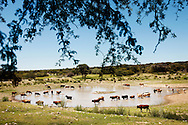 The cattle is free range in the true sense of the word. They mostly graze but are also fed a supplement of barley and hops that is leftover from beer production at a brewery in Windhoek.