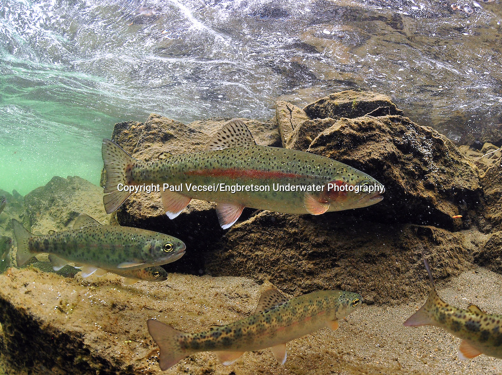 Rainbow Trout<br /> <br /> Paul Vecsei/Engbretson Underwater Photography