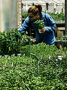 Woman selecting herbs from a greenhouse.
