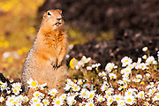 CANADA, Nunavut.Arctic ground squirrel, or sik-sik (Spermophilus parryii) in daisy meadow