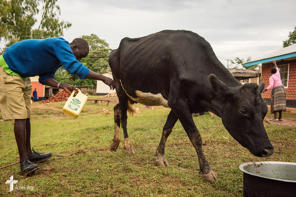 A young man at the U-Dom ELCK (Evangelical Lutheran Church in Kenya) Project 24 site milks one of two cows on Wednesday, June 22, 2016, in Chepareria, Kenya.  LCMS Communications/Erik M. Lunsford