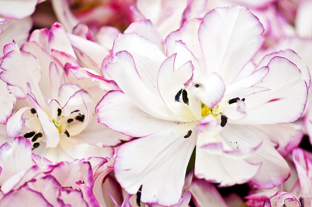 Tulipa  'Belica'