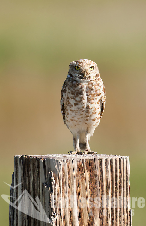 Third day of May 2016 the first Burrowing Owl that I have seen this year in Box Elder County northern Utah perched on a fence post watching the ground for insects.
