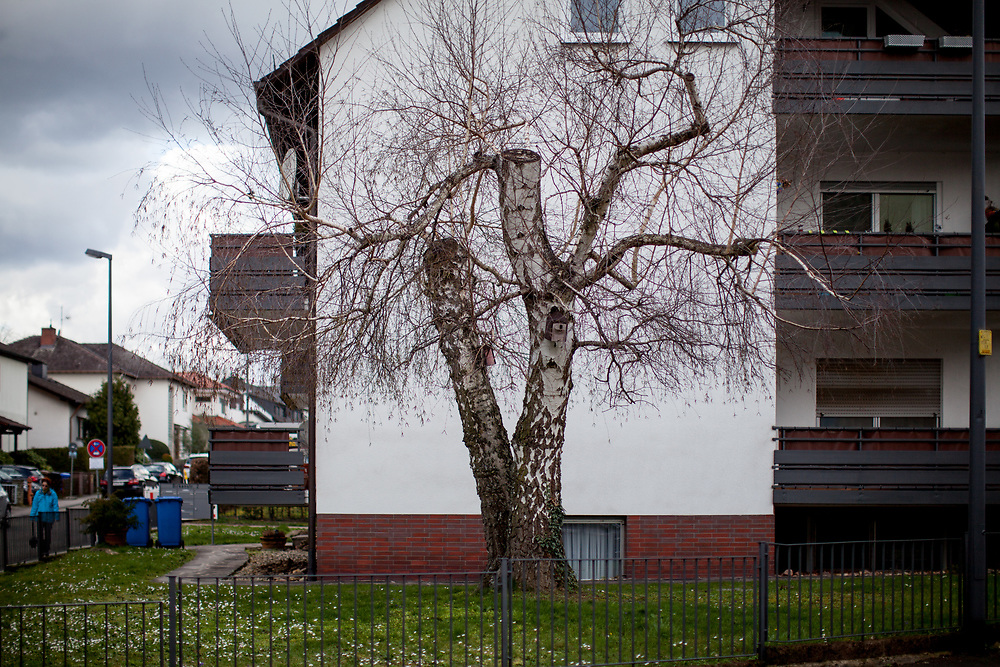 A radical cut tree in Oberursel Stierstadt.