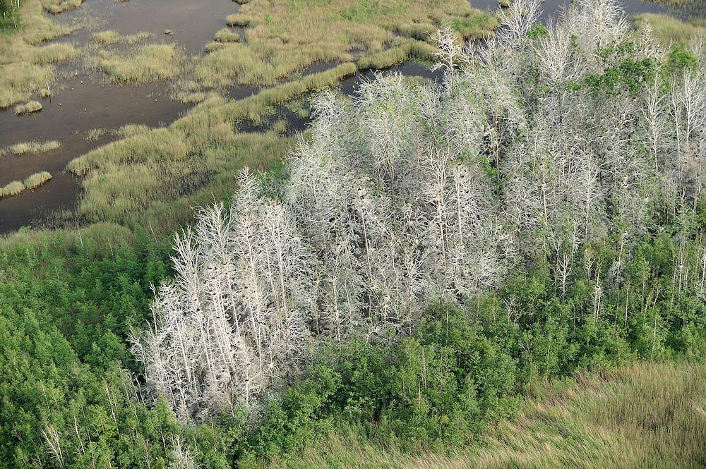 European Shag or Common Shag (Phalacrocorax aristotelis) colony. Kemeri National Park, Latvia
