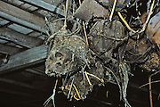 Skulls in longhouse, Iban tribe, former headhunters, rainforest Skrang River, Sarawak, Borneo, Malaysia.