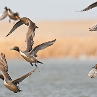 nothern pintail ducks taking off from water