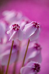Cyclamen hederifolium f. hederifolium 'Stargazer'  syn. C. neapolitanum