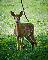 "Fawn with Spots ""Why are you Mowing the Grass???"" . Image taken with a Nikon 1 V3 camera and 70-300 mm VR lens"
