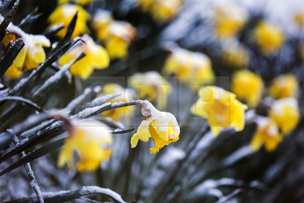 © Licensed to London News Pictures. 29/04/2016. Leeds UK. Picture shows snow covered Daffodil's in Temple Newsam park this morning. Leeds woke to a covering of snow this morning & is expected to get further snow showers over the weekend. Photo credit: Andrew McCaren/LNP