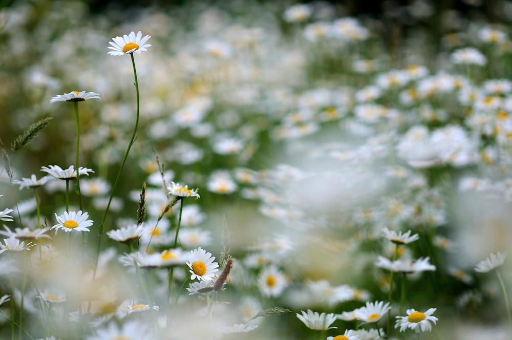 France, Languedoc Roussillon, Gard (30), Cevennes, fleurs de Marguerite, N.L.: Leucanthemum vulgare, (Astéracées)