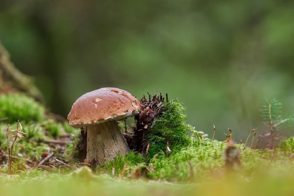 Penny Bun, Boletus edulis (Boletaceae) in wood scenery, PNR Livradois Forez, Fournols, Auvergne, France
