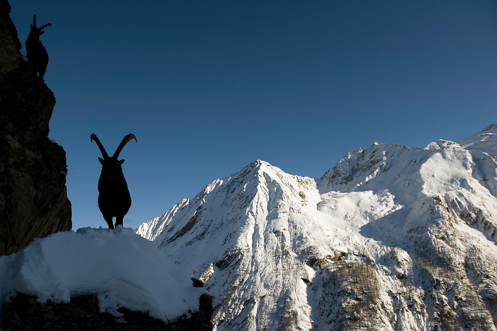 26.11.2008..Alpine Ibex (Capra ibex) in alpine landscape...Gran Paradiso National Park, Italy