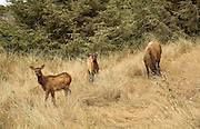Cow elk grazing with two fawns