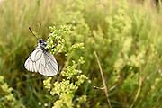 Altwarper Dune - Altwarper Binnendünen | Baumweißling, Baum-Weißling, Baumweissling, Aporia crataegi, black-veined white