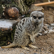 Meerkats as part of the stocktake at the London zoo on the 3rd January 2017,UK. Photo by See li/Picture Capital