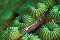 Coral Goby on Star Coral.Shot in West Papua Province, Indonesia