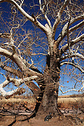 A sycamore tree stands proud in Gardner Canyon, Sonoran Desert, Sonoita, Arizona, USA.