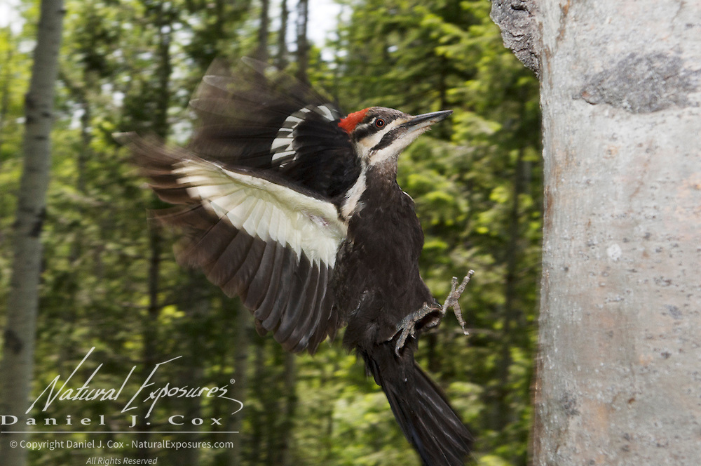 Pileated woodpecker (Dryocopus pileatus) in flight. Montana