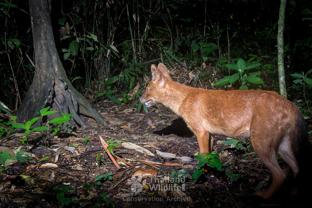 The dhole (Cuon alpinus) is a canid native to Central, South and Southeast Asia. Other English names for the species include Asiatic wild dog, Indian wild dog, whistling dog, red dog, and mountain wolf.