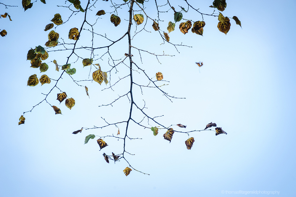 Autumn leaves falling from a bare branch against a blue sky