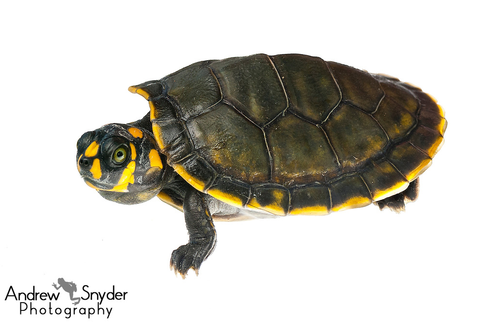Yellow-spotted river turtle (Podocnemis unifilis) - Yupukari, Guyana.