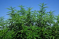 Hemp growing in Broadway Hemp's Harnett County field.