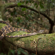 White-spotted Cat Snake (Boiga drapiezii) in Kaeng Krachan national park, Thailand