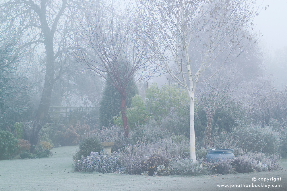 A cold foggy winter's morning in John Massey's garden.  Prunus serrula (Cherry) and Betula utilis var. jacquemontii (Silver birch) growing at the end of the salvia bed.