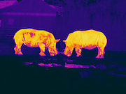 Thermogram of two White Rhinos (Ceratotherium simum).  The different colors represent different temperatures on the object. The lightest colors are the hottest temperatures, while the darker colors represent a cooler temperature.  Thermography uses special cameras that can detect light in the far-infrared range of the electromagnetic spectrum (900?14,000 nanometers or 0.9?14 µm) and creates an  image of the objects temperature..